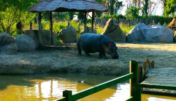Бегемот в Сафари-парке