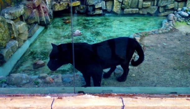 Пантера в Сафари-парке
